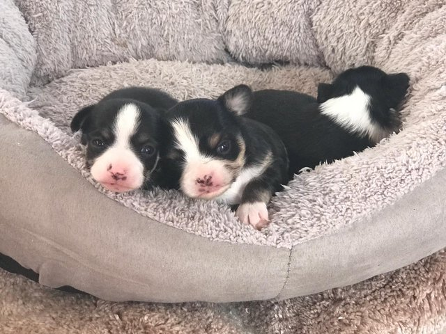 chihuahua - Dogs & Puppies, For Sale in Lancaster | Preloved