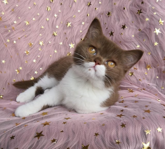 british shorthair - Cats & Kittens, Rehome Buy and Sell | Preloved