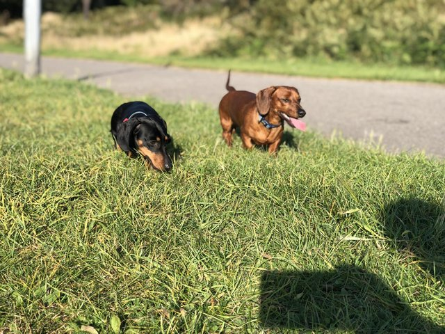Image 5 of BLACK AND TAN  AND RED DACHSHUND STUDS
