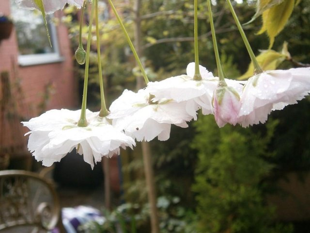 Preview of the first image of Ornamental Flowering White Cherry Tree :) Shizuka.