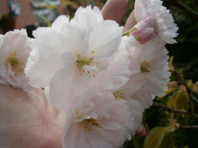 Image 2 of Ornamental Flowering White Cherry Tree :) Shizuka