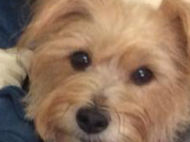 Preview of the first image of xx WANTED YORKIE Cross SPORTING LUCAS terrier xx.