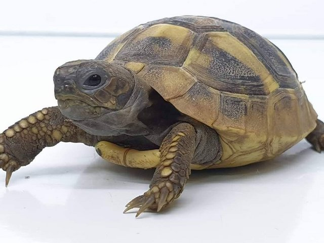 Preview of the first image of Baby herman tortoise.
