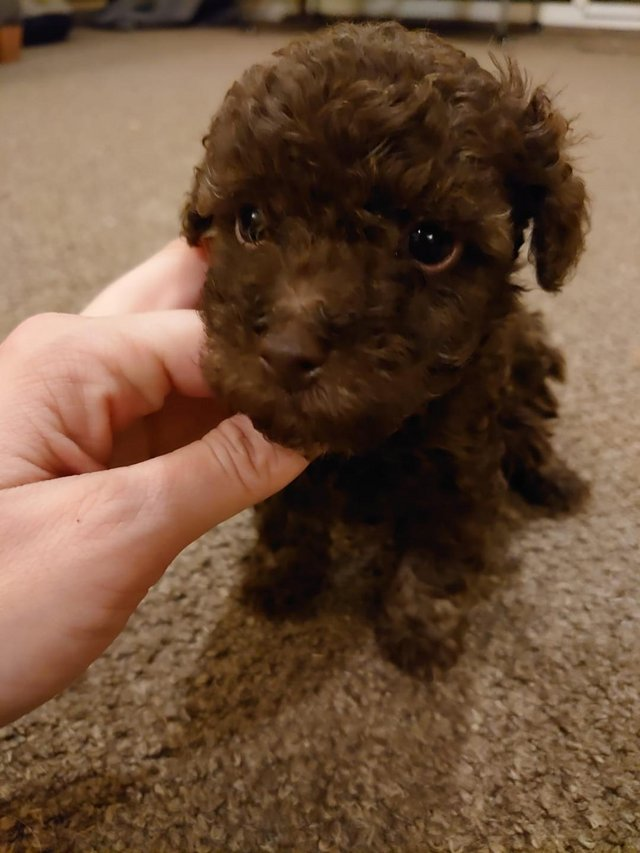 Image 65 of Tiny phantom HEALTH tested poodle for STUD ONLY