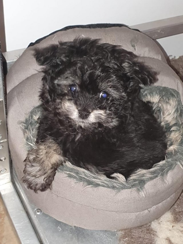 Image 69 of Tiny phantom HEALTH tested poodle for STUD ONLY