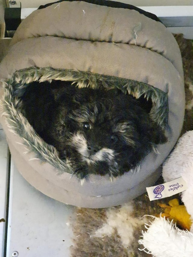 Image 70 of Tiny phantom HEALTH tested poodle for STUD ONLY