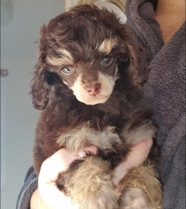 Image 71 of Tiny phantom HEALTH tested poodle for STUD ONLY