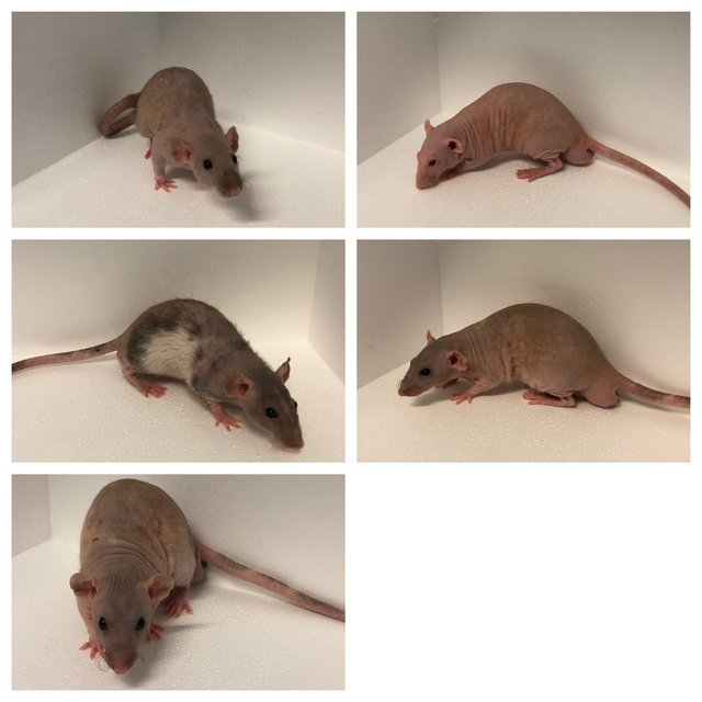 Preview of the first image of Own bred tame baby rats at urban exotics.
