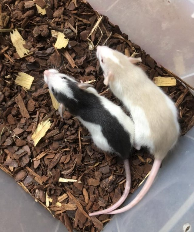 Image 2 of Rats. Various colours and both sexes available