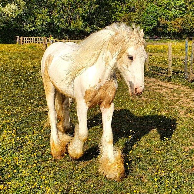 Image 2 of Looking to buy cobs 14hh + Age 3 +