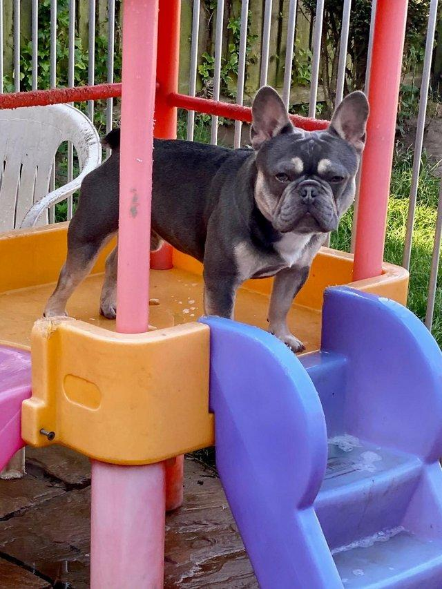 Image 3 of French bulldog stud lilac and tan carrying cream KC register