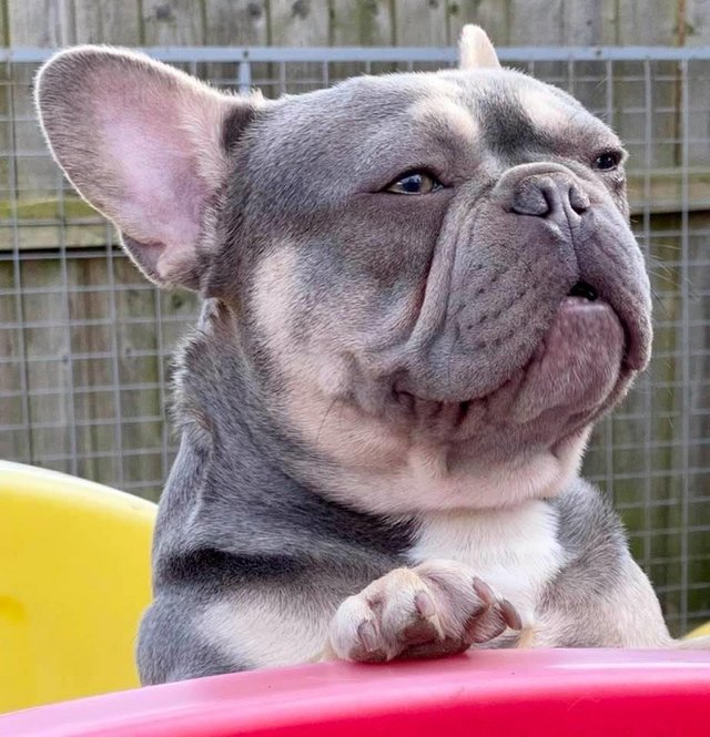 Image 4 of French bulldog stud lilac and tan carrying cream KC register