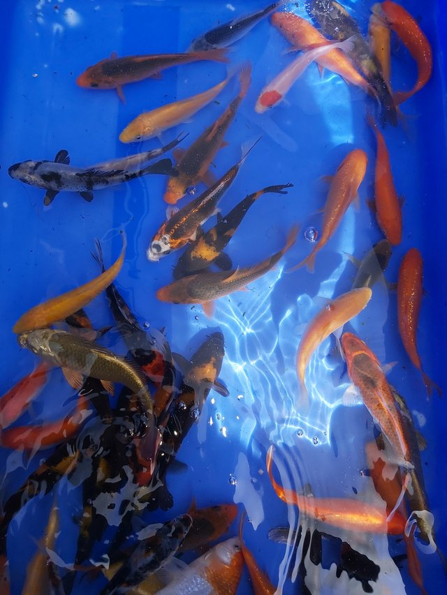 Preview of the first image of Japanese koi pond fish.