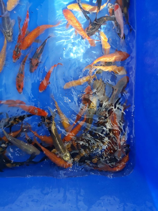 Image 3 of Japanese koi pond fish