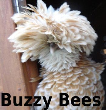 Preview of the first image of Bantam Hens ~ Silkie Sizzles + Polish Frizzles Chicks ~ Cute.