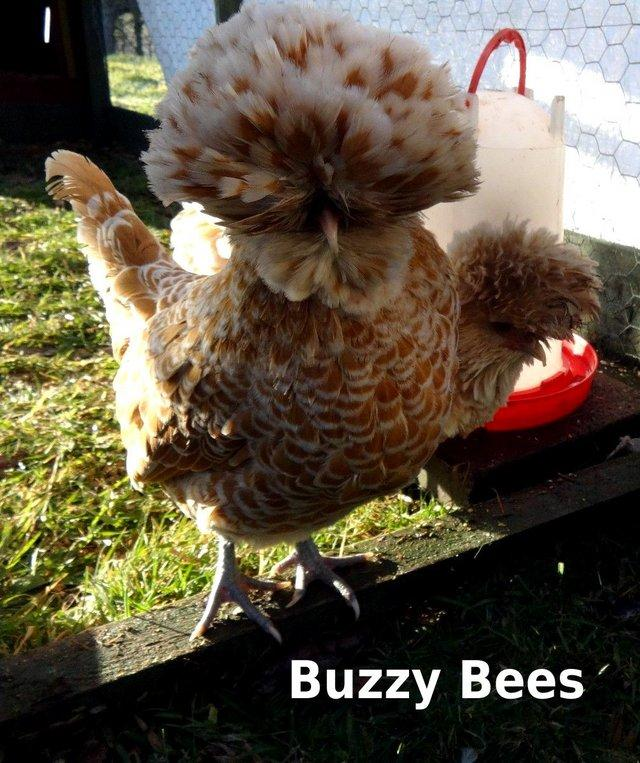 Image 7 of Bantam Hens ~ Silkie Sizzles + Polish Frizzles Chicks ~ Cute