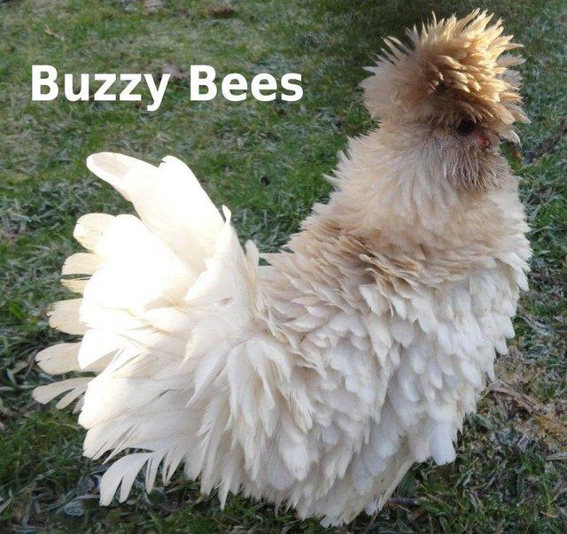 Image 8 of Bantam Hens ~ Silkie Sizzles + Polish Frizzles Chicks ~ Cute