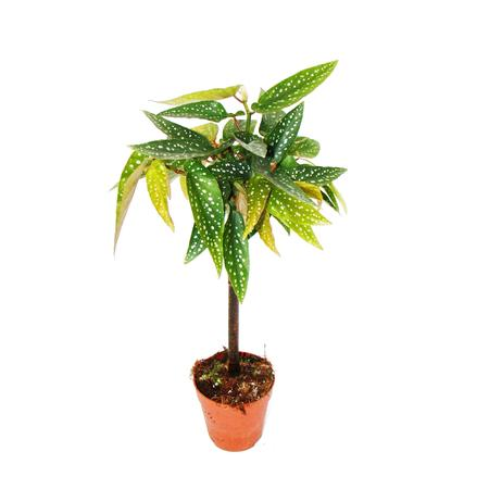 Preview of the first image of Rare Begonia house plant rare.