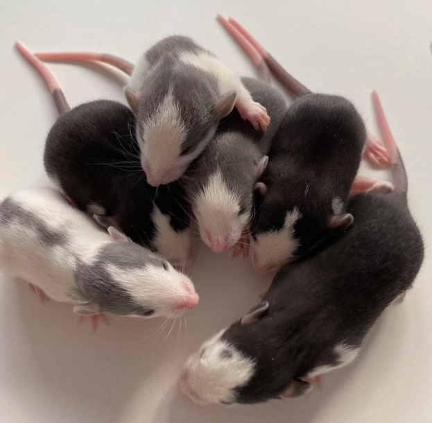Preview of the first image of Baby Dumbo Rats.