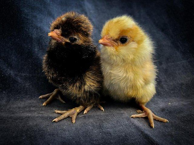 Image 2 of Day Old Chicks of Various Breeds