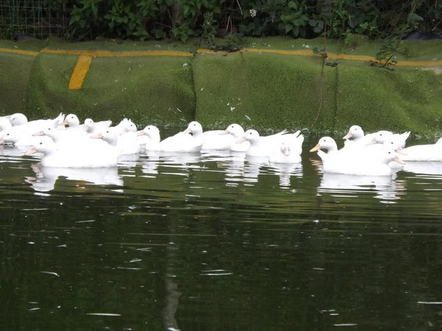 Image 3 of Cherry Valley Ducks