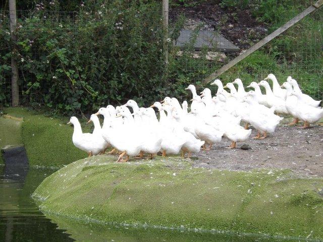 Image 5 of Cherry Valley Ducks