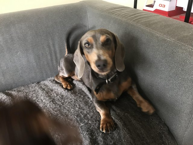 Image 2 of STUD blue/tan miniature dachshund