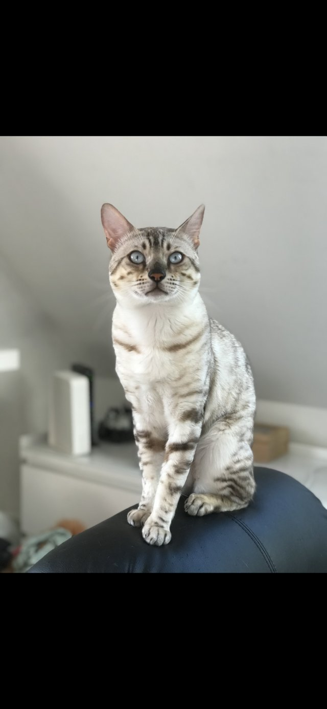 Image 2 of Sold- Seal Lynx Point Snow Bengal kitten