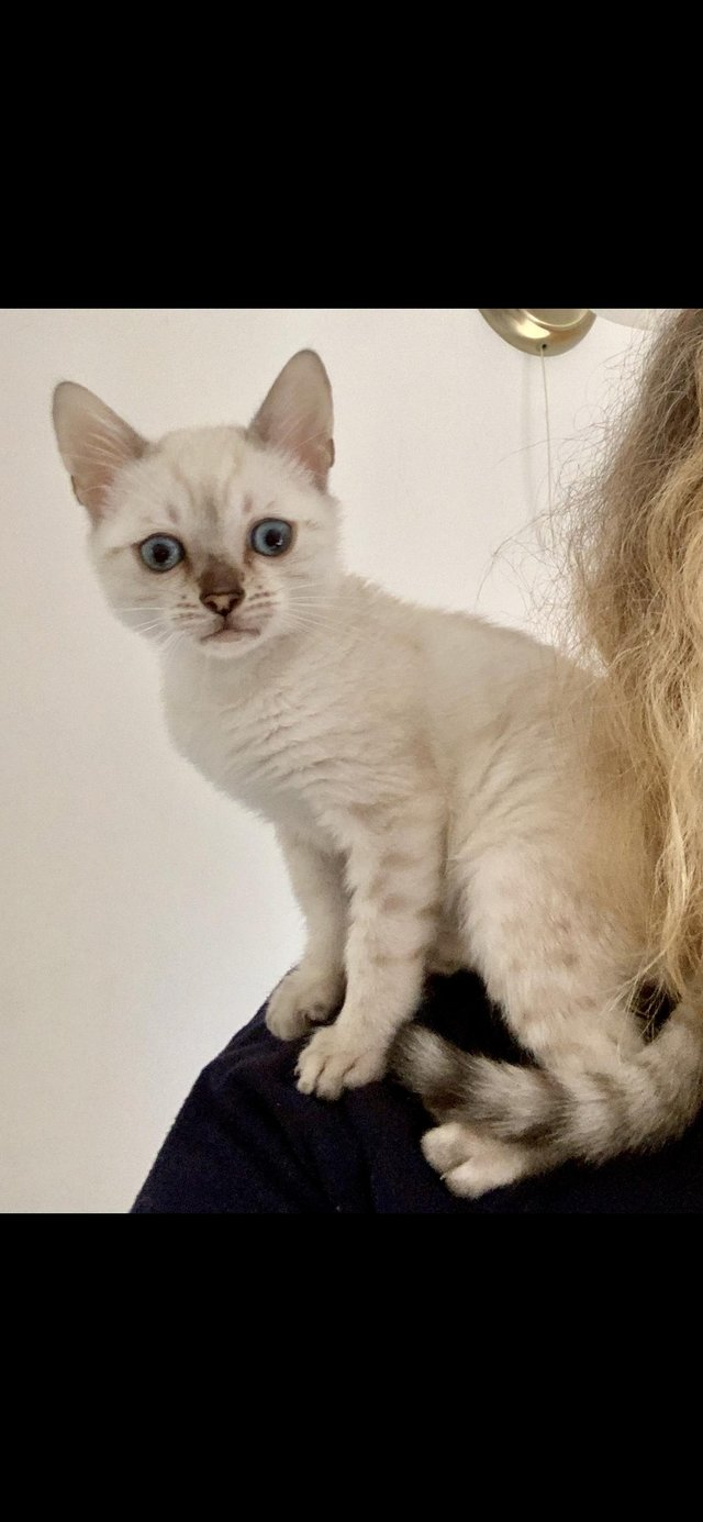 Image 3 of Sold- Seal Lynx Point Snow Bengal kitten