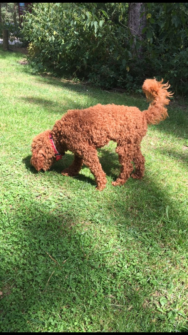 Image 2 of Extensively Health Tested Deep Red Min Poodle Stud