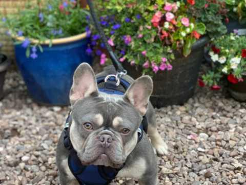 Image 5 of French bulldog stud lilac and tan carrying cream KC register