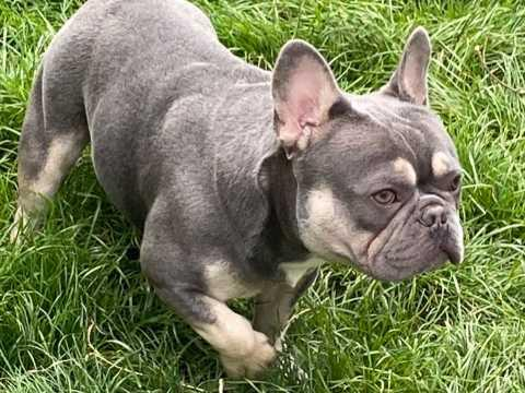 Image 6 of French bulldog stud lilac and tan carrying cream KC register