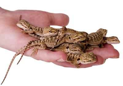 Image 18 of WP&E LIZARDS FOR SALE