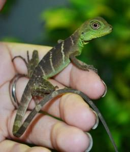 Image 21 of WP&E LIZARDS FOR SALE