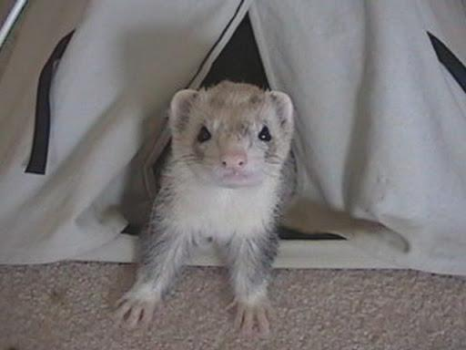 Preview of the first image of *wanted* Ferrets.