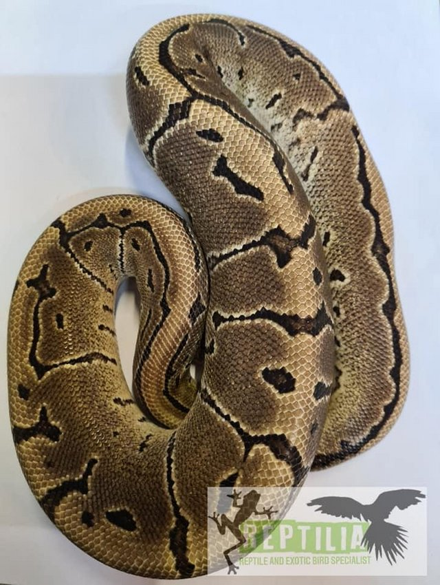 Preview of the first image of CB18 Leopard Pinstripe Royal Python Male.