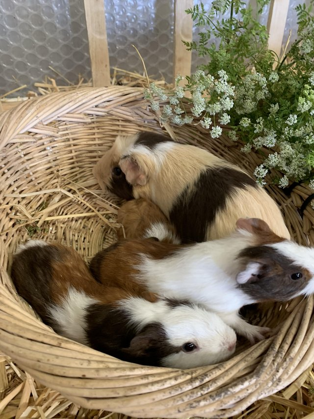 Preview of the first image of Guinea pigs sow and boar 8 weeks old.