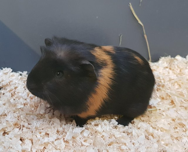 Preview of the first image of Run wanted for guinea pigs..