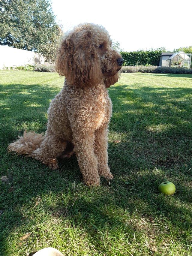 Image 3 of Red KC Regd Health Tested Miniature Poodle