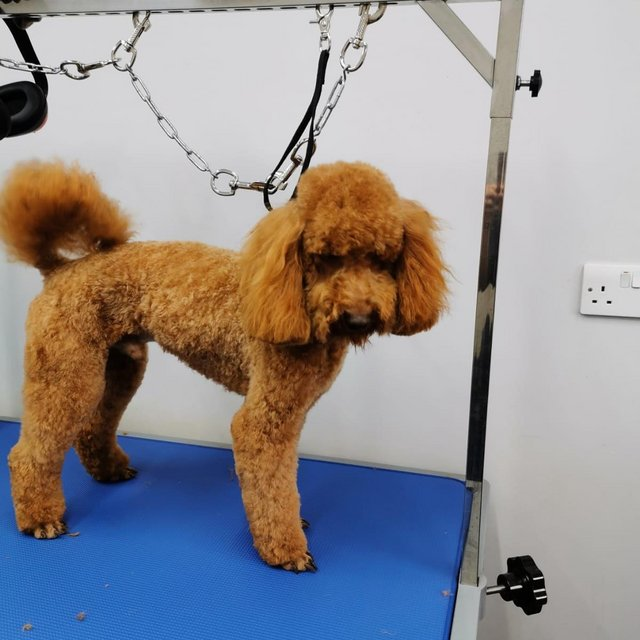 Image 4 of Red KC Regd Health Tested Miniature Poodle