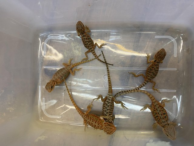 Image 2 of Bearded dragon's for sale