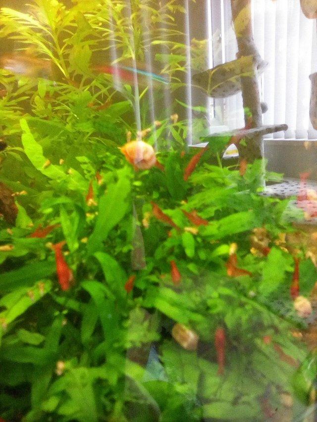 Image 3 of Red cherry shrimp