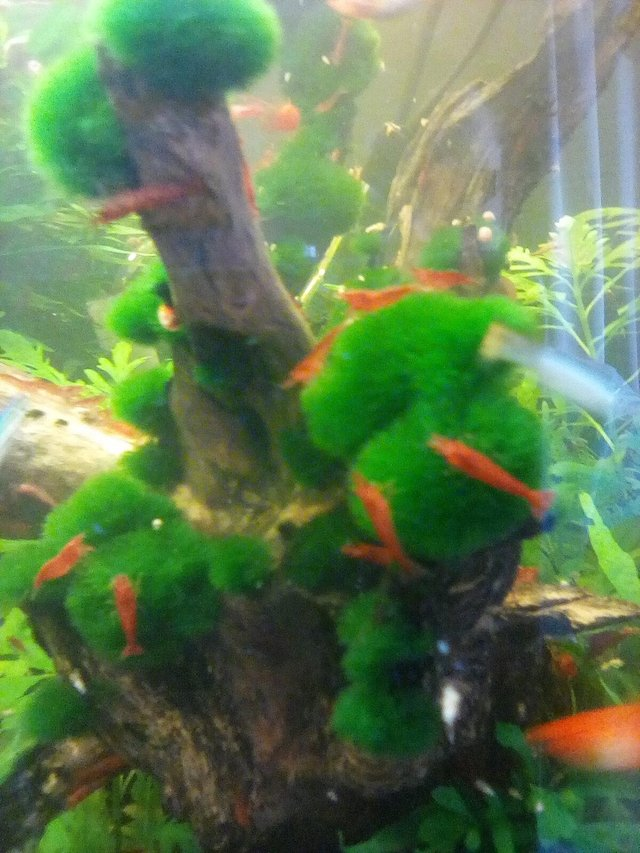 Preview of the first image of Red cherry shrimp.