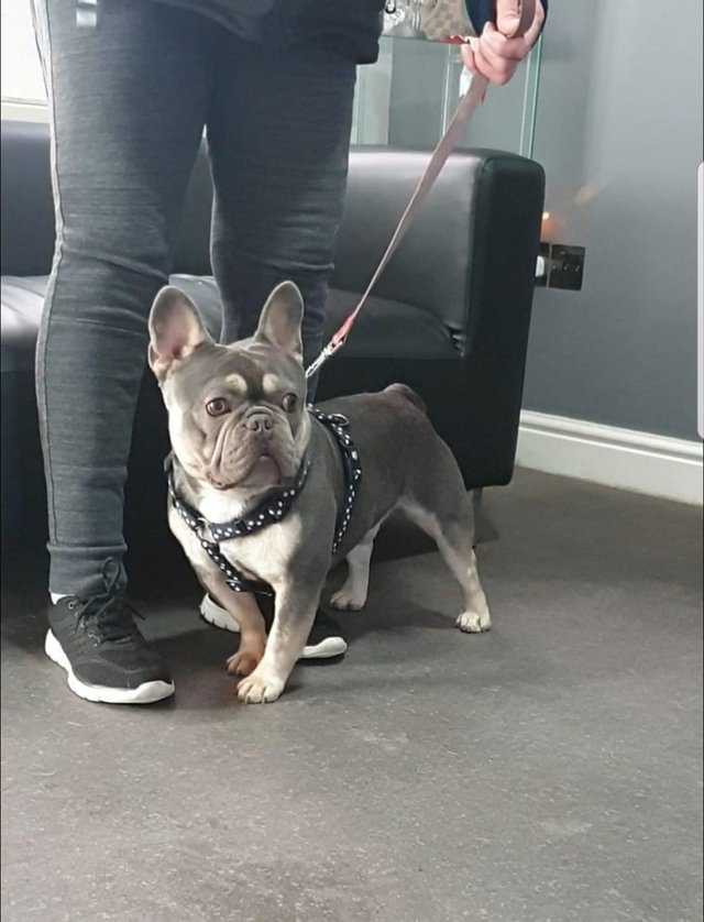 Preview of the first image of French bulldog stud lilac and tan carrying cream KC register.