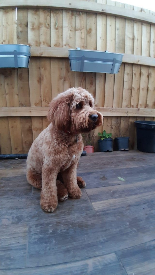 Image 8 of Kennel Club registered Red miniature poodle for stud