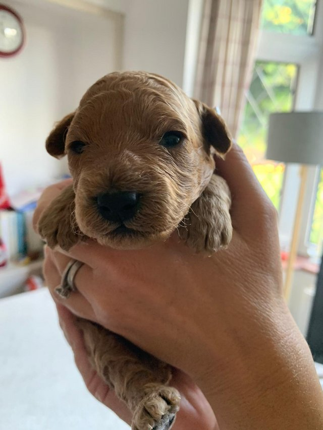 Image 10 of Kennel Club registered Red miniature poodle for stud