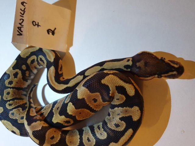 Preview of the first image of Female Baby vanilla royal python.