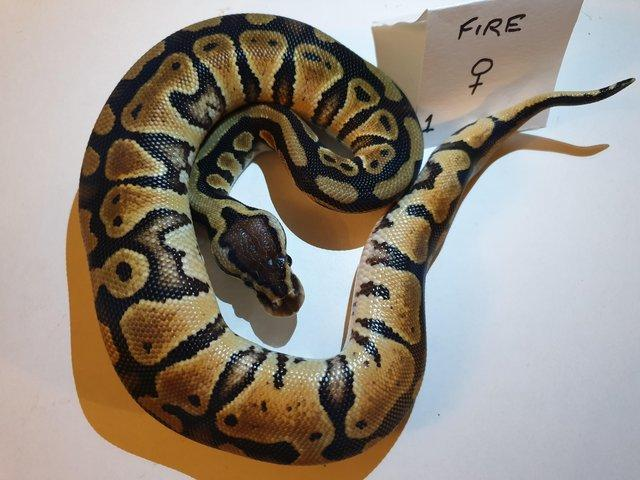 Preview of the first image of Baby fire royal python.