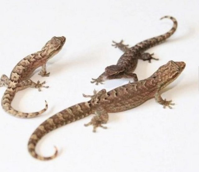 Preview of the first image of Mourning Geckos.