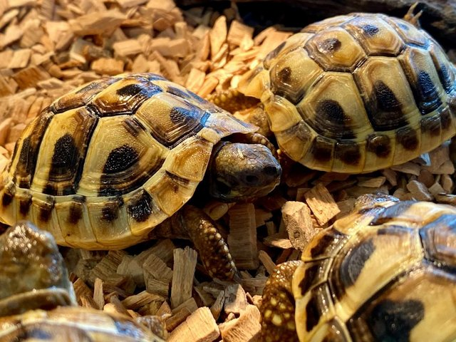 Preview of the first image of Northampton Reptile Centre - Tortoises For Sale.